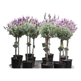 lavender-plants1