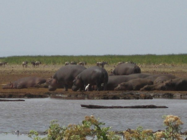 Beached Hippos
